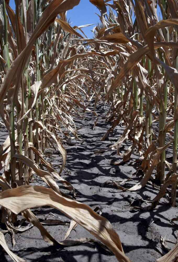 A dry field of corn is seen near Fremont, Neb.. The drought gripping the United States is the widest since 1956, according to new data released by the National Oceanic and Atmospheric Administration. (AP Photo/Nati Harnik)