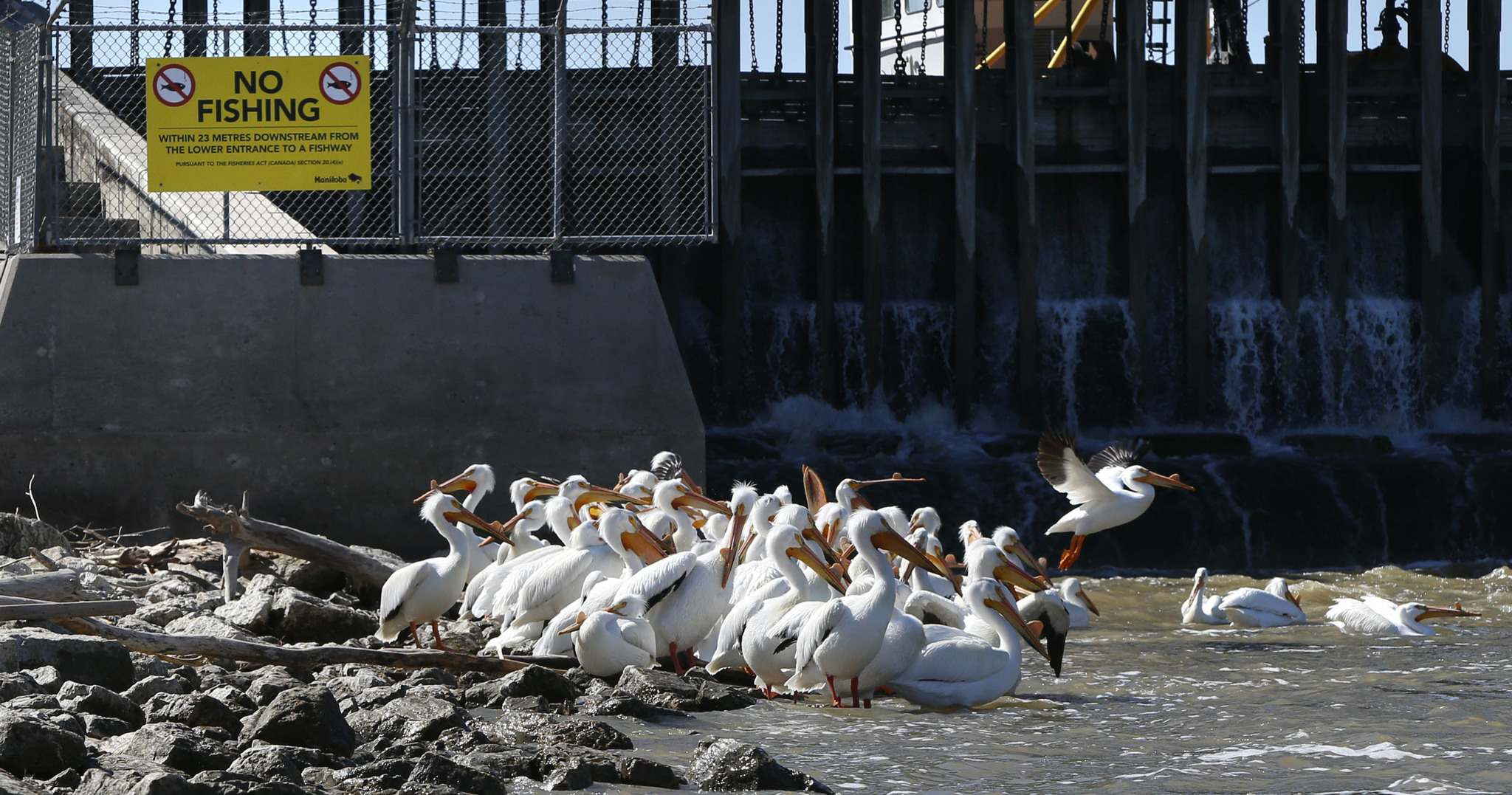 WAYNE GLOWACKI / WINNIPEG FREE PRESS</p><p>Pelicans along the eastern shore of the Red River are safe from discarded fishing line and lures in the special conservation area north of the St. Andrews Lock and Dam Tuesday.</p></p>
