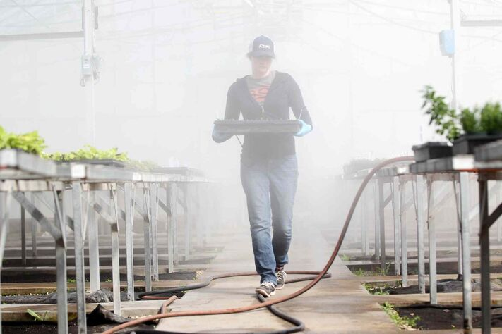 Stephanie Walker carries a tray of  heliotrope clippings  grown in their glass, steam filled greenhouse.