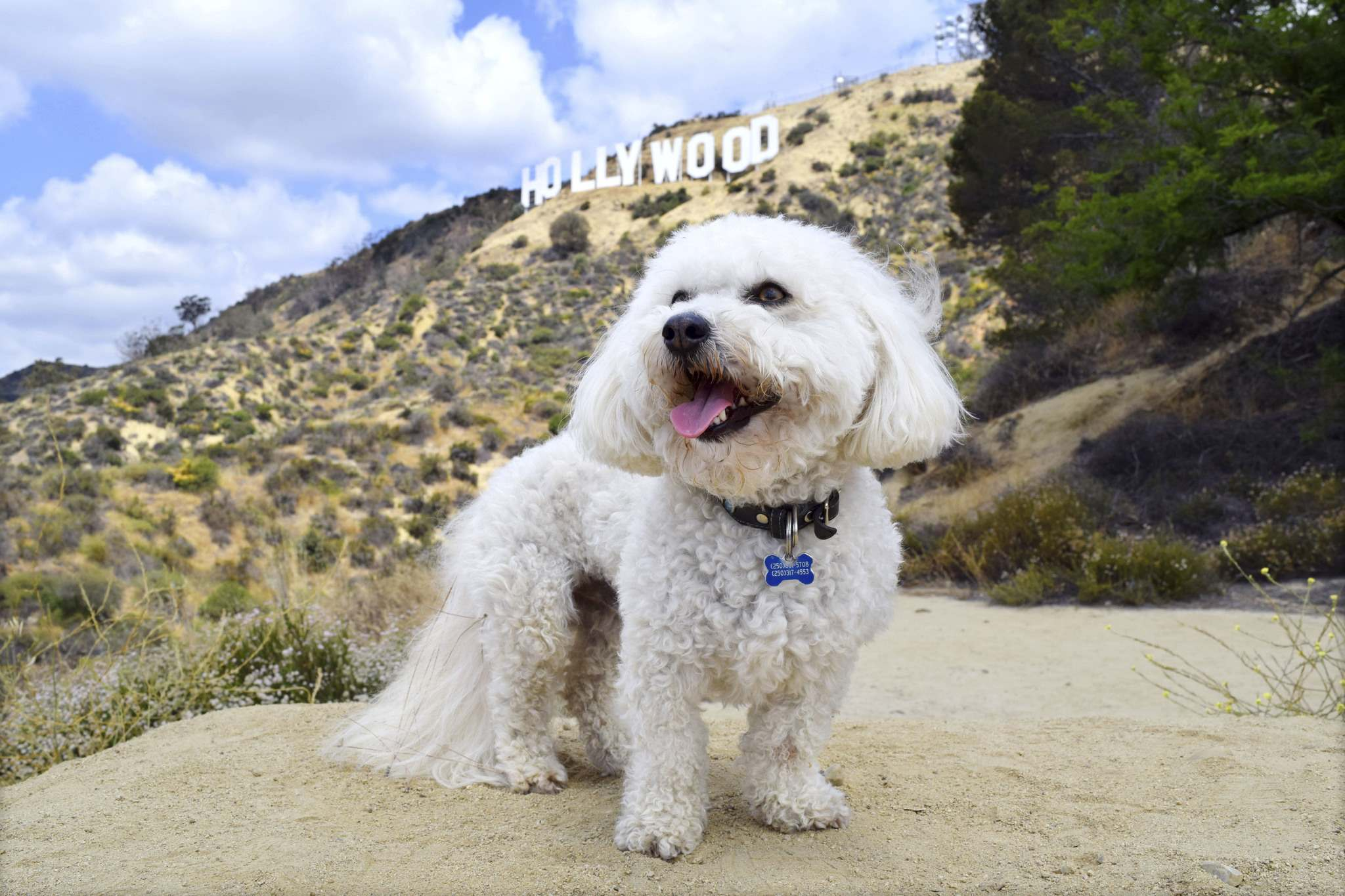 Not knowing why it's so important, reporter Steve MacNaull's dog Benji poses with the Hollywood sign in the background during a Bikes and Hikes L.A. trek through the Hollywood Hills.</p>