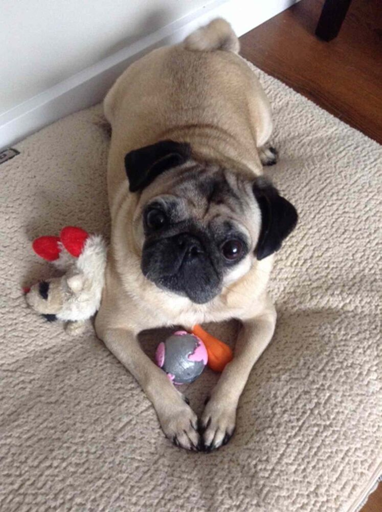 Owner Kendra Howard reports that pug Poppy has lost one pound. Poppy joined the fit-pet project not too long ago, so this is good progress. Kendra said Poppy has done very well, and although she has only lost one pound, she has made great progress with her exercise in general. (Submitted photo)