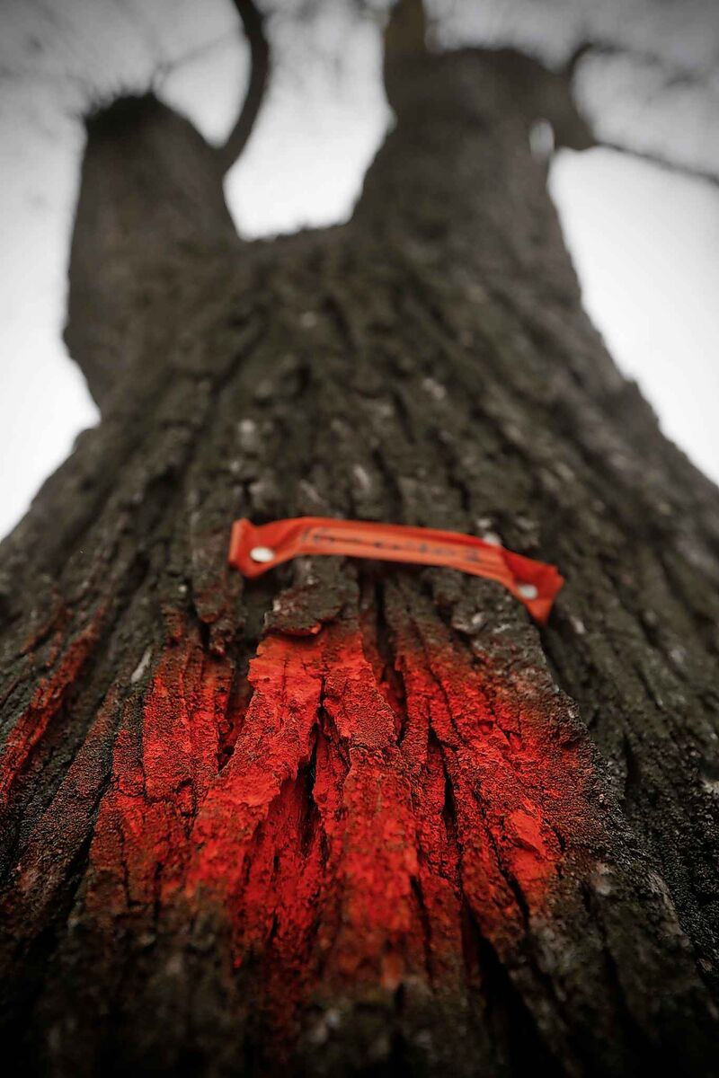 The elm bark beetle kills 15 mature elm trees in Winnipeg every day. (John Woods / Free Press files)