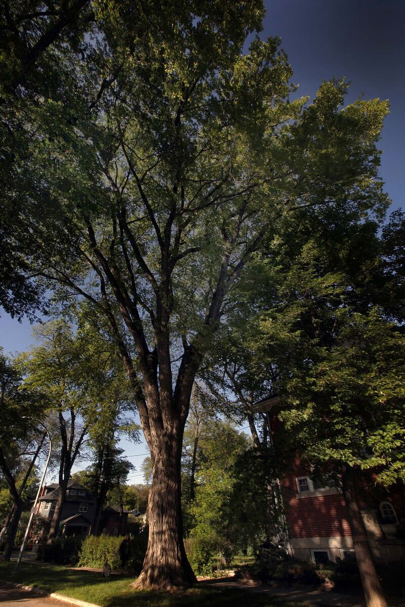 PHIL HOSSACK / WINNIPEG FREE PRESS</p><p>The city's best elm grows on Palmerston Avenue in Wolseley.</p>