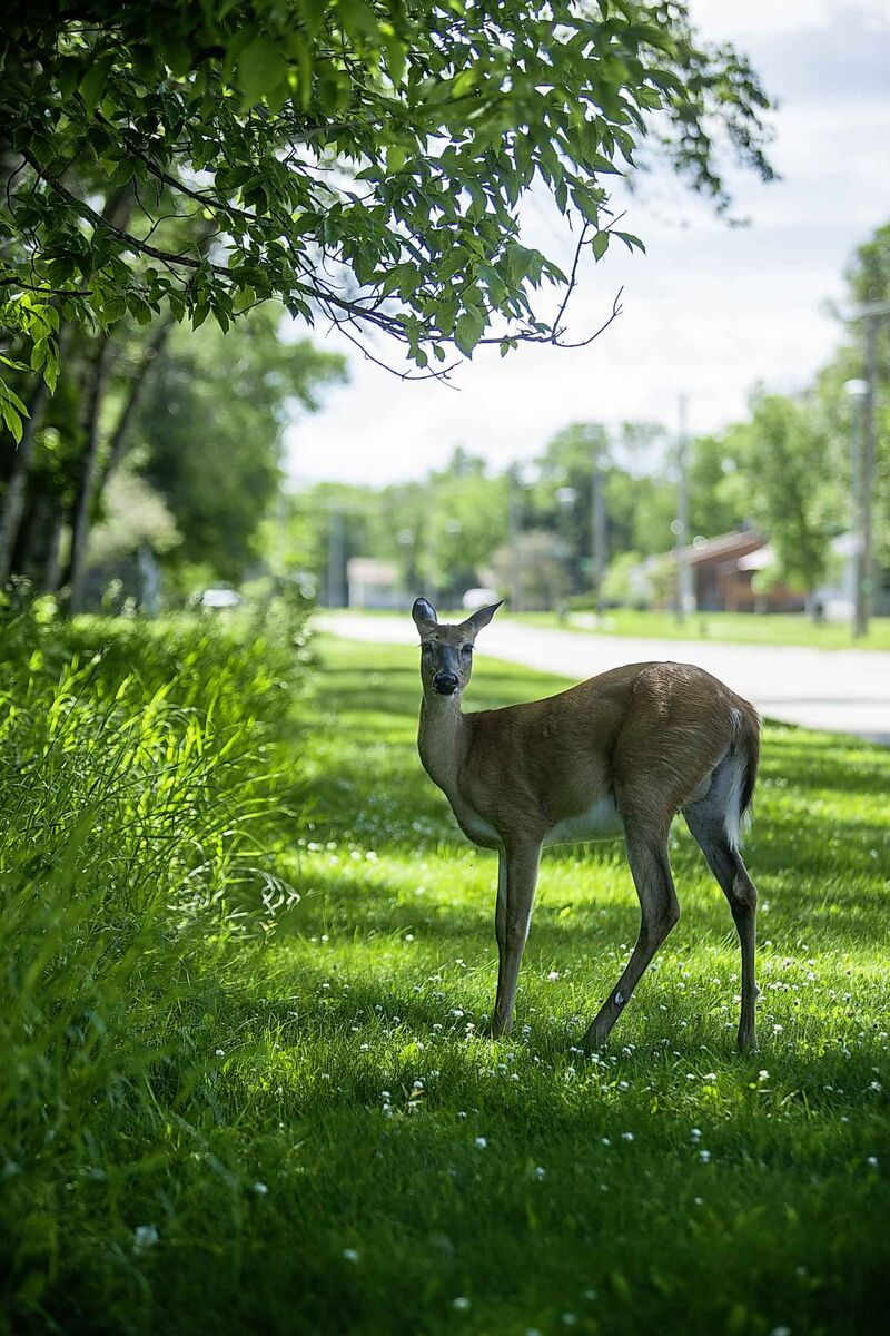 A deer wandering the streets of Pinawa. Set in the picturesque Canadian shield, Pinawa was formed in 1963 to house the employees of the nearby Whiteshell Nuclear Research Establishment.