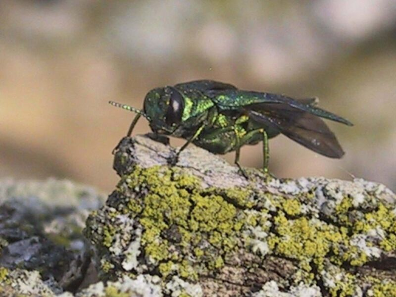 The emerald ash borer could kill every ash tree in the city in the next decade. (Canadian Food Inspection Agency)