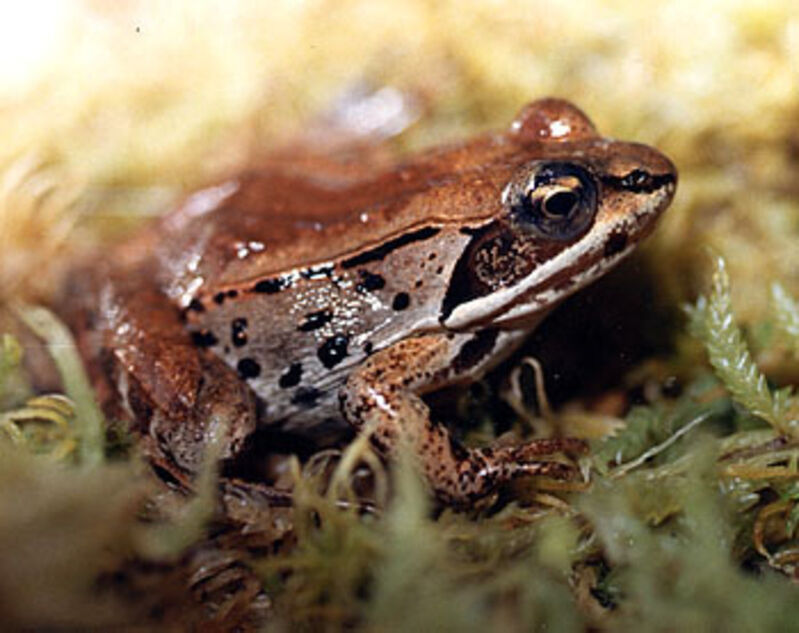 In Churchill frogs can live for four years but some evidence suggests there are frogs that can live up to eight years.