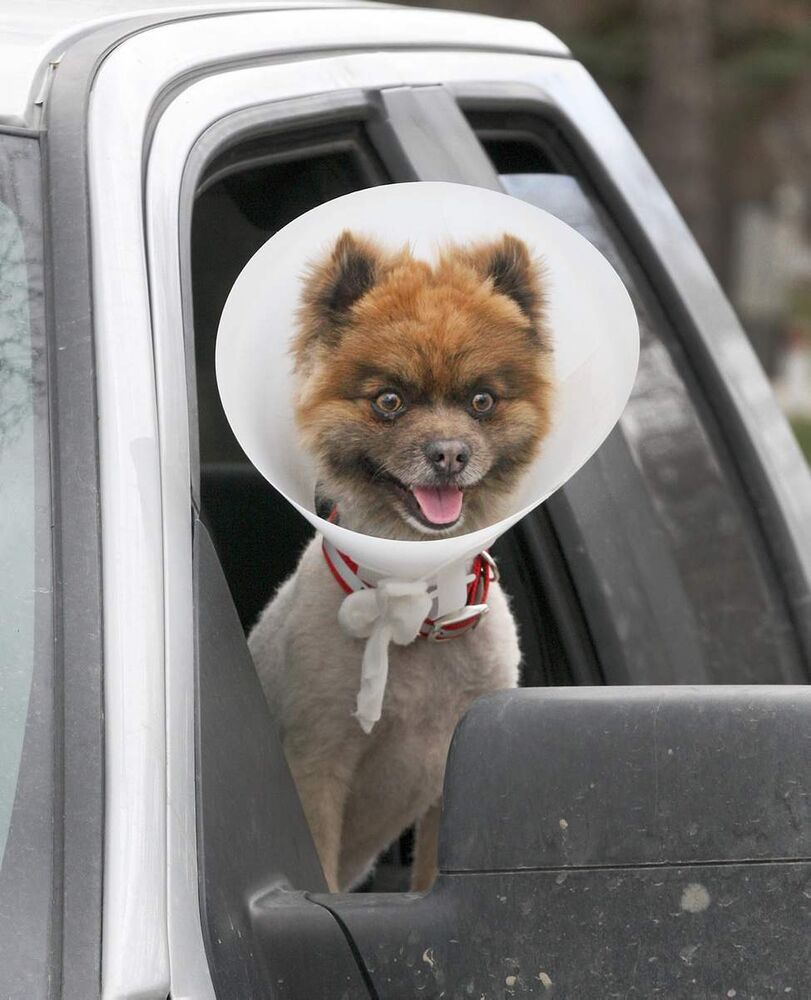 Let's Roll - Jo Jo, a Wolf Sable Pomeranian, seems ready to roll despite having a cone on his head while hanging out of his owner's truck in Kildonan Park.  May 14, 2013   (JOE BRYKSA / WINNIPEG FREE PRESS)