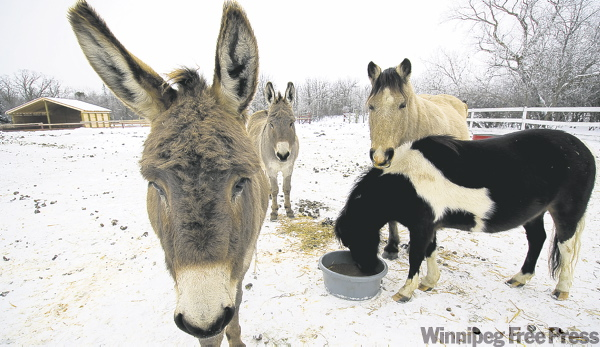 MARK REIMER / WINNIPEG FREE PRESS  Donkeys and horses eat their fill at Papa�s Ranch. The horse rescue ranch cares for livestock that have been neglected or fallen sick.