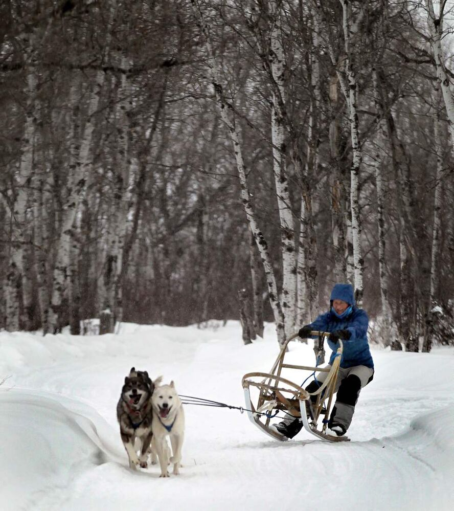 Her parents moved, she stayed and has had teams up to 11 dogs strong. Now it's four, two Siberian huskies and a pair of husky pointer hound crosses, all bred and raised to pull. (Phil Hossack / Winnipeg Free Press)