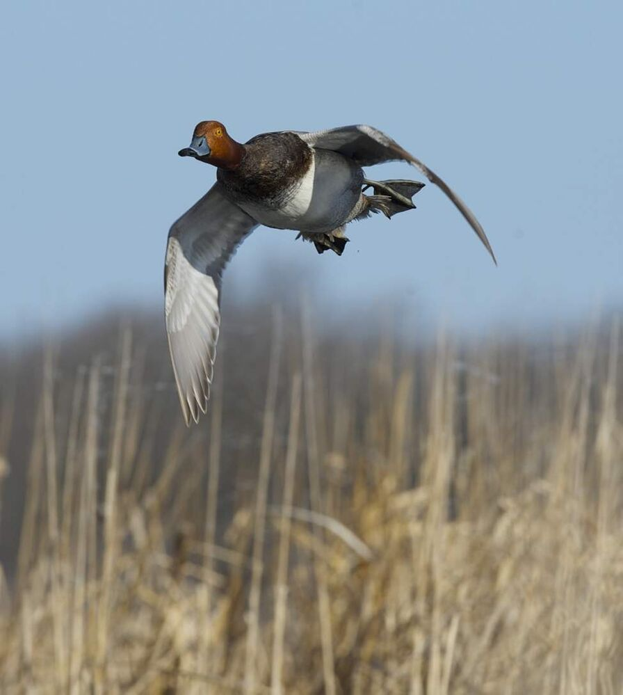 A redhead duck flies low over Delta Marsh. (FRED GREENSLADE FOR WINNIPEG FREE PRESS)