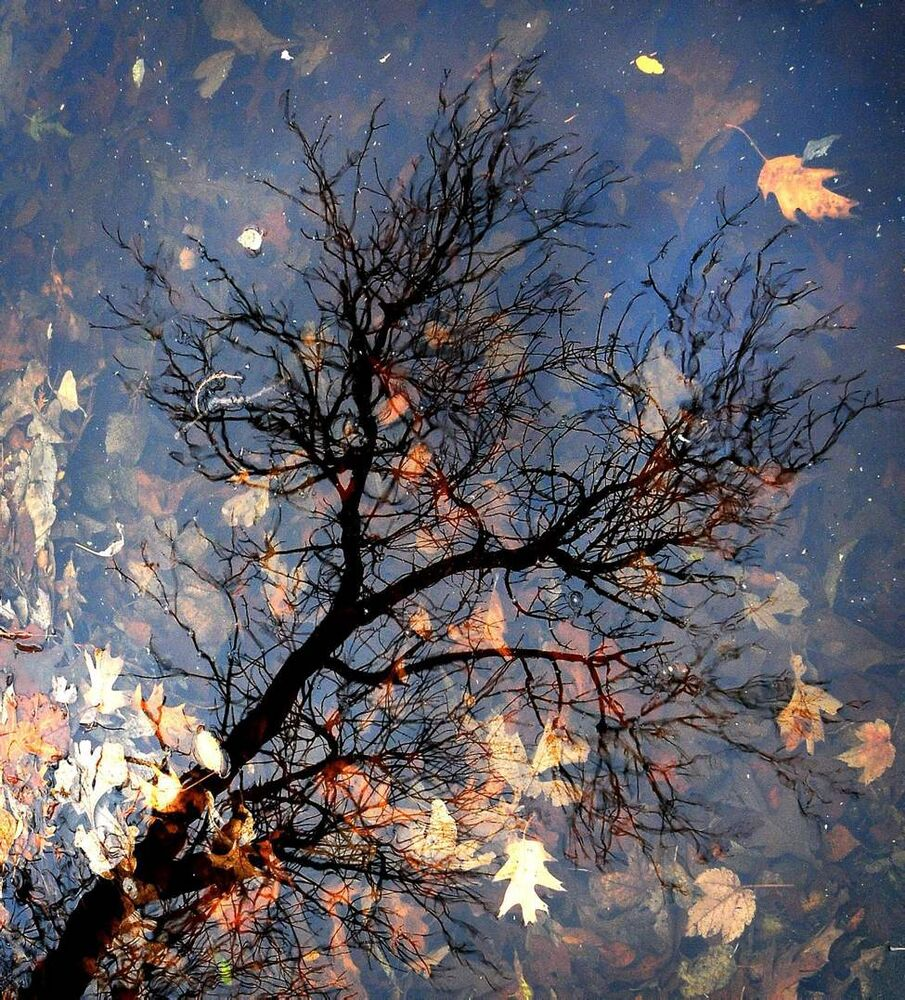Tree branches are reflected over submerged leaves Monday, Nov. 5, 2012 in Sunset Park in Salina, Kan. After all the trees have lost their leaves the park ponds will be partially drained and cleaned. (AP Photo/Salina Journal, Tom Dorsey)