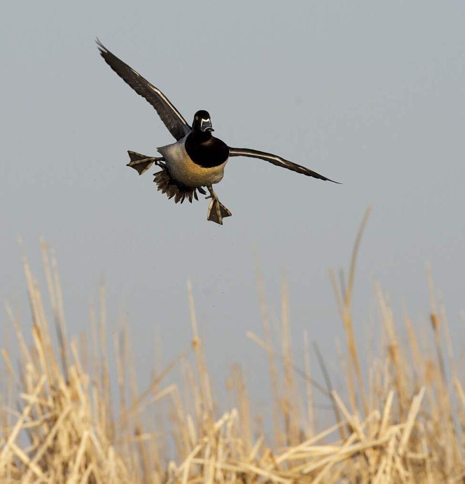 A ringnecked duck lines up with the Delta Marsh runway. (FRED GREENSLADE FOR WINNIPEG FREE PRESS)
