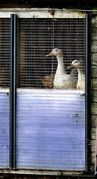 Ducks on a farm in Nafferton, England, where measures to prevent the spread of bird flu are under way after the first serious case of the disease in the UK for six years, Monday Nov. 17, 2014. Farmers around the country have been warned to be on alert after at least one case of the virus was confirmed at this duck breeding farm. Chickens were being slaughtered in the Netherlands and Britain was preparing to kill ducks after two cases of H5 bird flu virus were discovered in Europe, but officials insisted Monday that the risk to public health was very low. (AP Photo / Steve Parkin, PA) UNITED KINGDOM OUT - NO SALES - NO ARCHIVES