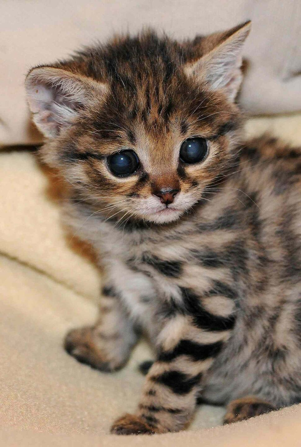It may look like a normal kitten but this cute little ball of fur is a type of endangered African feline called a Black-footed Cat. Born on Valentine's Day 2012, he was rejected by his mother, and staff at Chicago Zoological Society's Animal Hospital were forced to hand-rear him. Dangerously cold and underweight, they had to put him in an incubator to increase and maintain his body temperature whilst feeding him round the clock.  (Zuma Press / MCT)