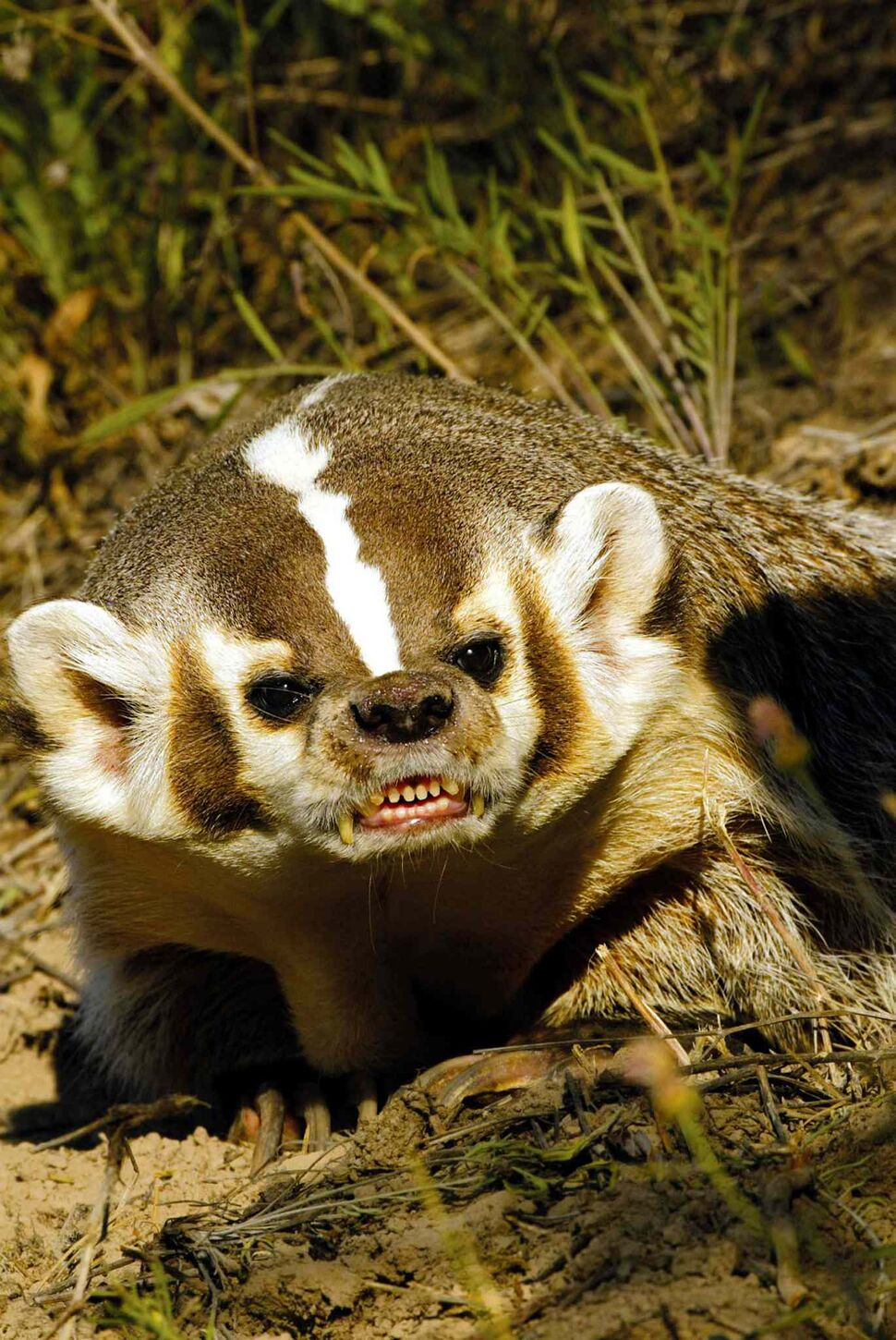 4. All fur bearing animals of the family Mustelidae, including, but not limited to, weasel, marten, mink, badger (pictured), ermine, skunk, otter, pole cat, wolverine, except the domestic ferret (Putorius furo).  (Associated Press)