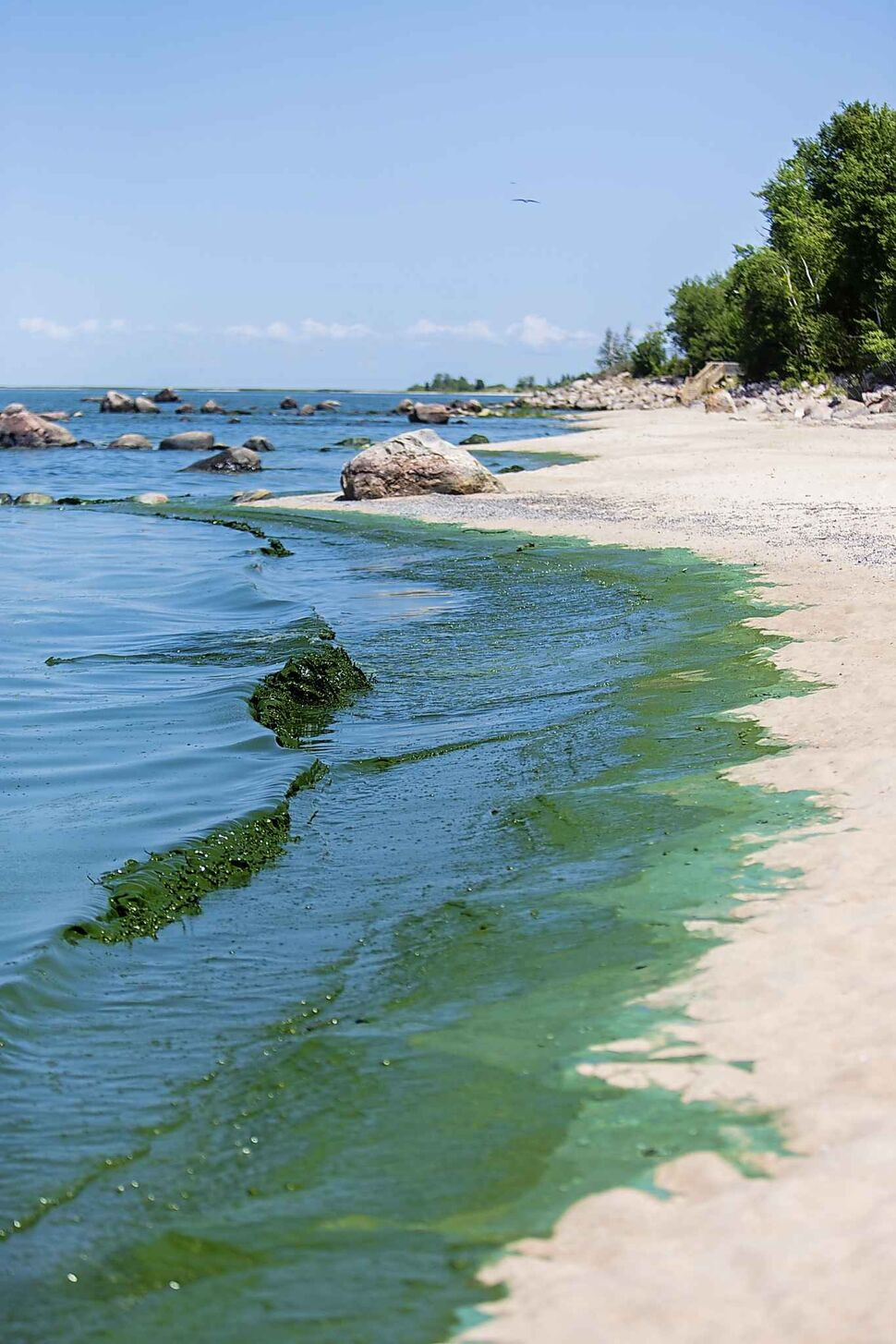The algae blooms at Connaught Beach.