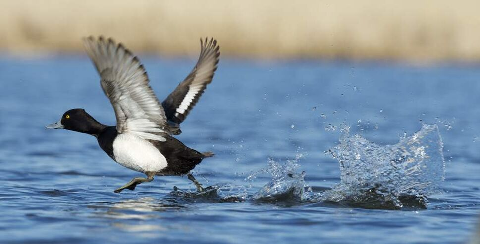 A lesser scaup does the old walk-on-water trick. (FRED GREENSLADE FOR WINNIPEG FREE PRESS)