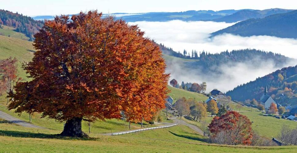 Fog lies in the valleys behind an autumnally colored tree seen from the Schauinsland mountain in the black forest, southwestern Germany, Wednesday, Oct. 24, 2012. (AP Photo/dapd, Winfried Rothermel)