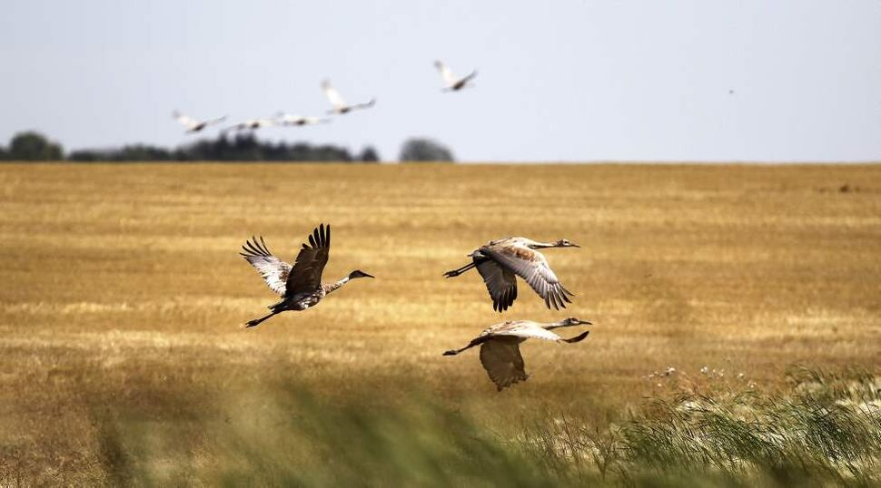 Sandhill Cranes fly off a field near Deloraine. The migratory birds were taking advantage of spilled wheat on freshly harvested fields en route to their southern roosts. September 17, 2013  (Phil Hossack / Winnipeg Free Press)