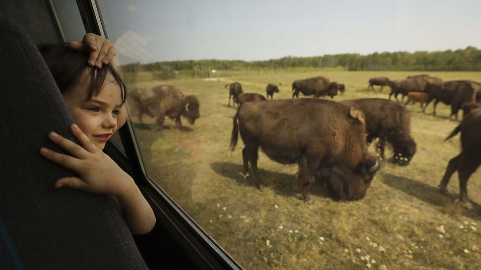 RUTH BONNEVILLE / WINNIPEG FREE PRESS</p><p>Coin Dickson, 6, peers out the window at a herd of bison while on the bison safari with his family and friends.</p></p>
