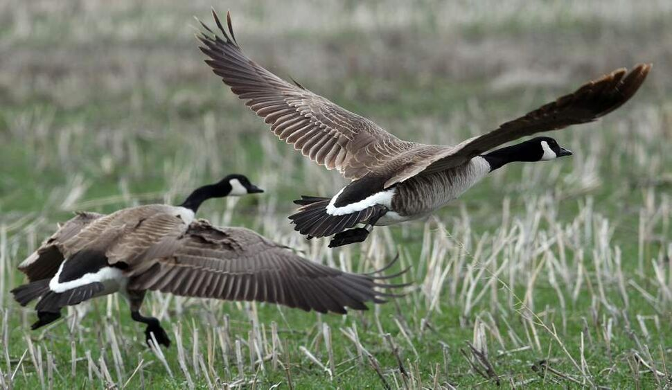 "DAY THREE - Two Canada geese fly at Oak Hammock Marsh. The front bird is banded for identification.  ""Wednesday was tough- spent the whole day looking for a goose. It's funny when you really want to find something how difficult it can become."" May 2, 2012    (JOE BRYKSA / WINNIPEG FREE PRESS)"