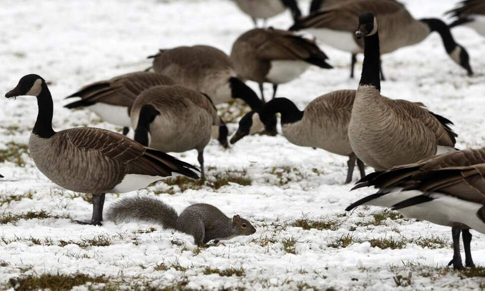 A busy squirrel is undeterred by a large gaggle of geese that has settled in a grassy field at Assiniboine Park just after the first snow fall. The squirrel made numerous mad dashes through the crowd of geese  gathering acorns and food for the upcoming winter.  November 7,  2011