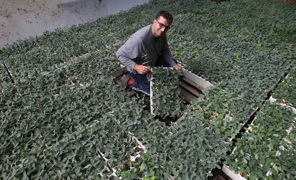 Riverbend Orchards owner Philip Ronald works on  honeyberry rooted cuttings (Joe Bryksa / Winnipeg Free Press)
