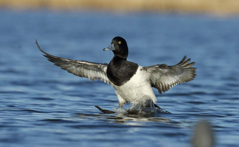 A lesser scaup seems to stand on water as it lands at Delta Marsh. (FRED GREENSLADE FOR WINNIPEG FREE PRESS)