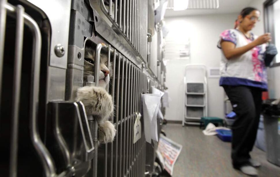 A cat awaits a medical procedure in the holding cages.  (Boris Minkevich/Winnipeg Free Press)