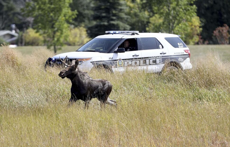 Winnipeg Police and the department of fisheries try to contain a moose near the corner of Pembina Highway at Chancellor Matheson Drive on Saturday. (TREVOR HAGAN / WINNIPEG FREE PRESS)