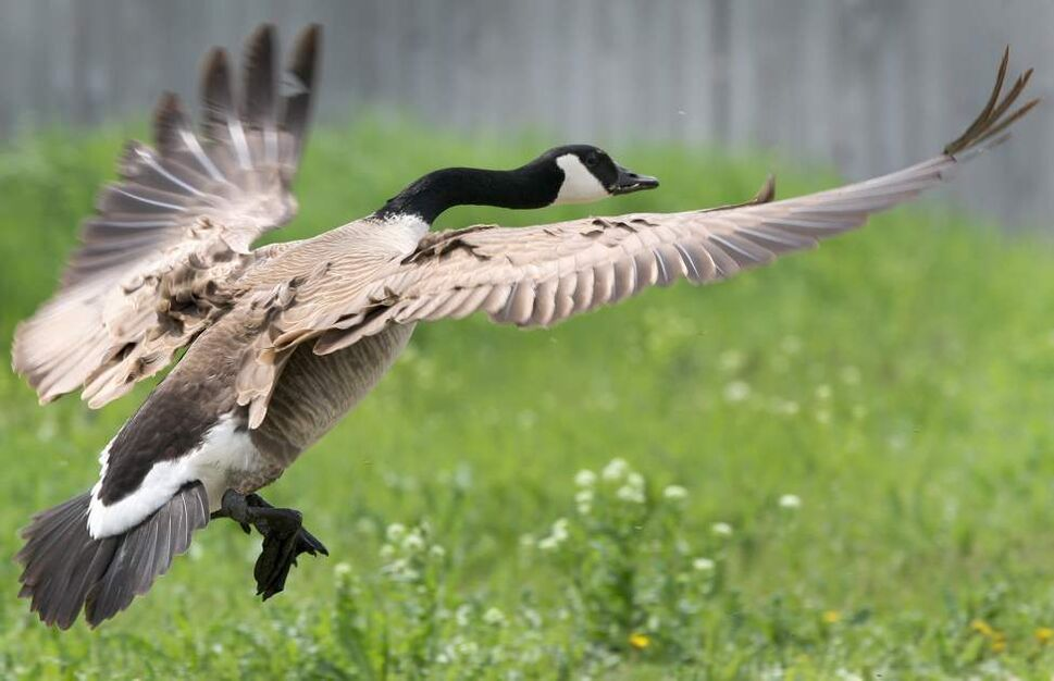 DAY SIXTEEN - A goose flies defensively to protect its young Wednesday near Kenaston and Waverley. May 23, 2012   (JOE BRYKSA / WINNIPEG FREE PRESS)