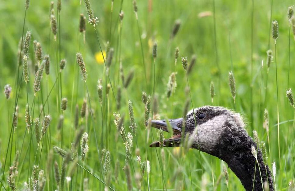 DAY TWENTY: A young goose gobbles up grass at Fort Whyte Alive Monday morning. (JOE BRYKSA / WINNIPEG FREE PRESS)