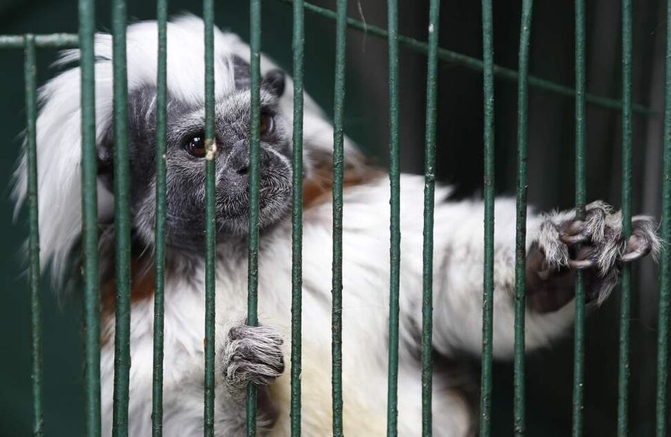 A young cotton-headed tamarin looks out from its cage. (AP Photo/Fernando Vergara)
