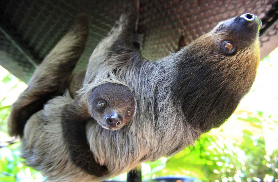 21. All sloth (pictured), anteater, and armadillo (Xenarthrata). (Wong Maye-E / The ASsociated Press)