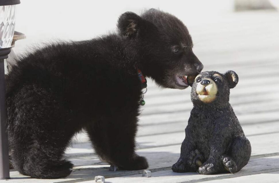 Rene Dubois, a retired construction worker, found this baby bear in a ditch last week and has been taking care of it since, to the delight of the kids in St. Malo where they live. The bear has since been seized by Manitoba Conservation. April 03, 2012   (MIKE DEAL / WINNIPEG FREE PRESS)