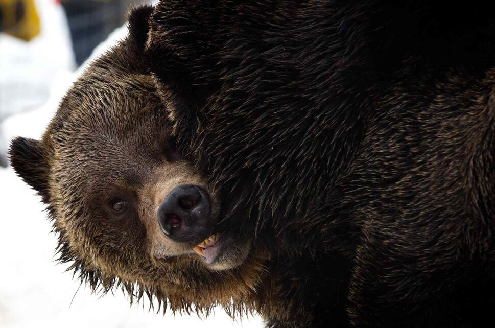 3. All bears, including polar, grizzly (pictured), brown and black bear. (DARRYL DYCK / The Canadian Press)