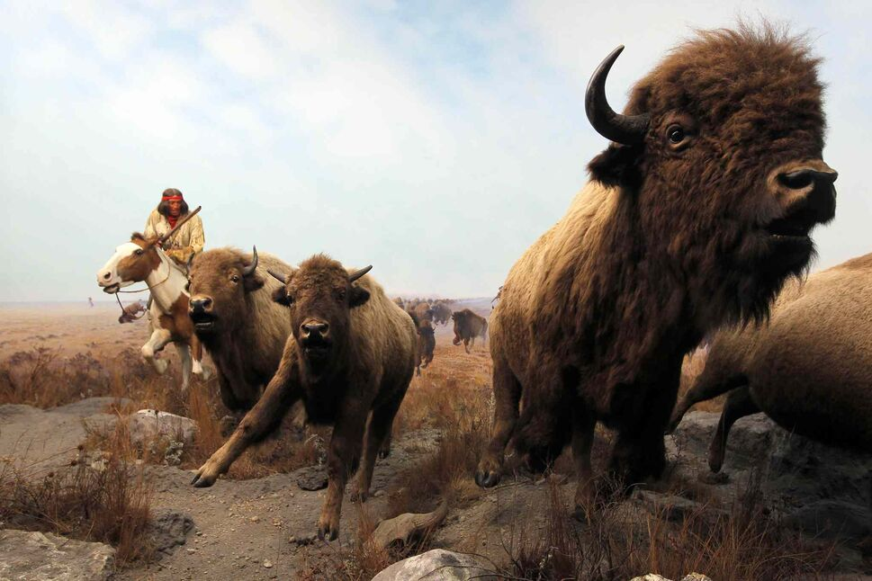 The Manitoba Museum. The Bison scene as you first enter the museum. BORIS MINKEVICH/WINNIPEG FREE PRESS