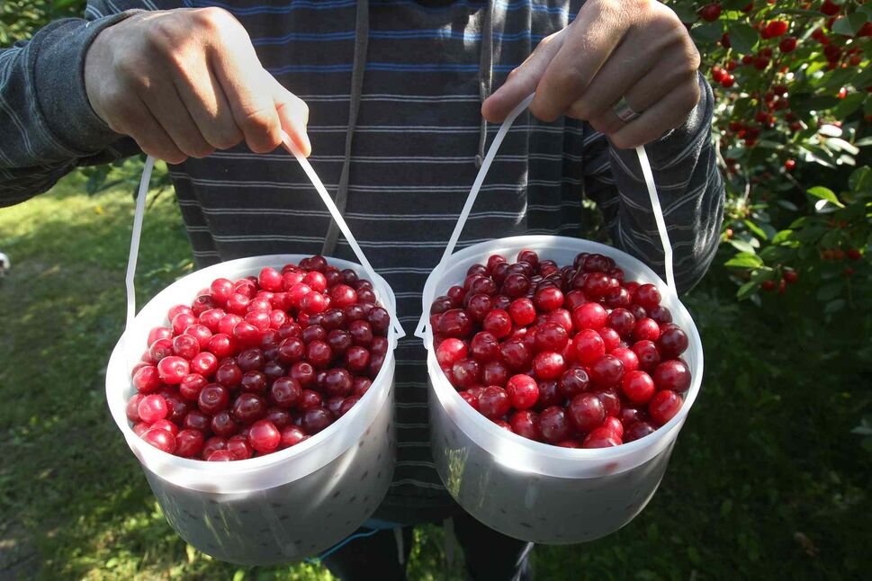 Marcus Loewen holds pails of  tart cherries. (Joe Bryksa / Winnipeg Free Press)