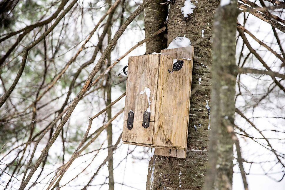 A marten is prepared for skinning.One of the Imries' marten traps near Falcon Lake.