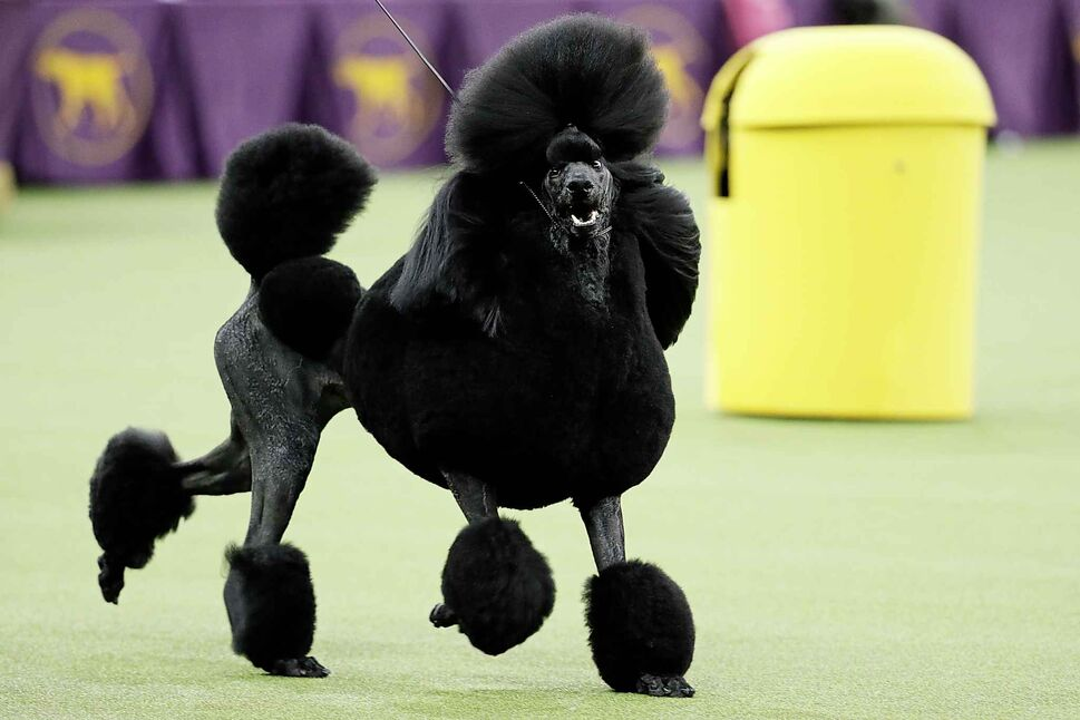 Siba, the standard poodle, competes for Best in Show. (John Minchillo / The Associated Press)