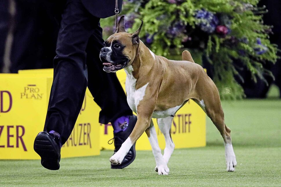 Wilma, the boxer, wins the working group competition. (John Minchillo / The Associated Press)