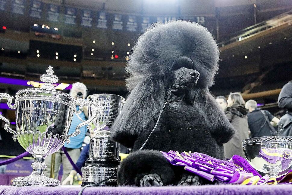 Siba, the standard poodle, poses for photographs after winning Best in Show. (John Minchillo / The Associated Press)