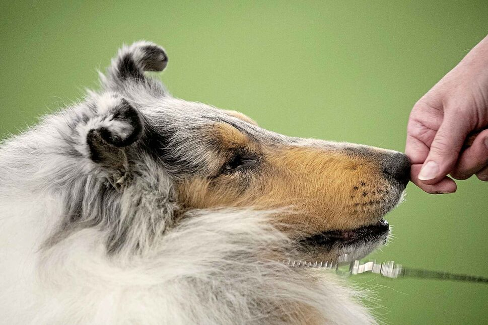 A Rough Collie competes at the Westminster Kennel Club Dog Show on Sunday. (Wong Maye-E / The Associated Press)