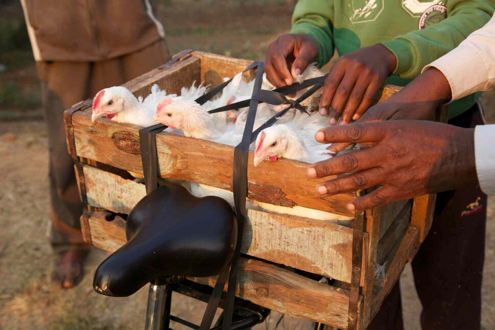 He used to shuttle his chickens to market in a wheelbarrow. The trip was so long, he could only make one trip each day. Now, with his Buffalo Bike, he can make several trips a day to the market.