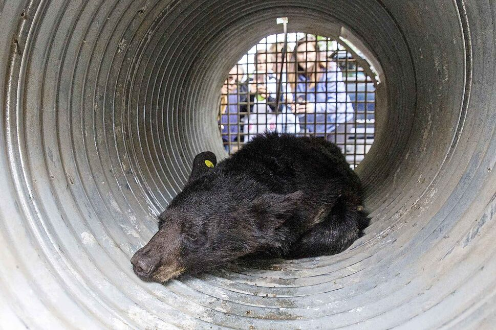 MIKE DEAL / WINNIPEG FREE PRESS</p><p>A two year old bear that was tranquillized after it was chased up a tree in the yard of a house in the 700 block of Kildare Avenue West in Transcona Tuesday morning June 5, 2018, is put into a cage for transportation by conservation officers.</p>