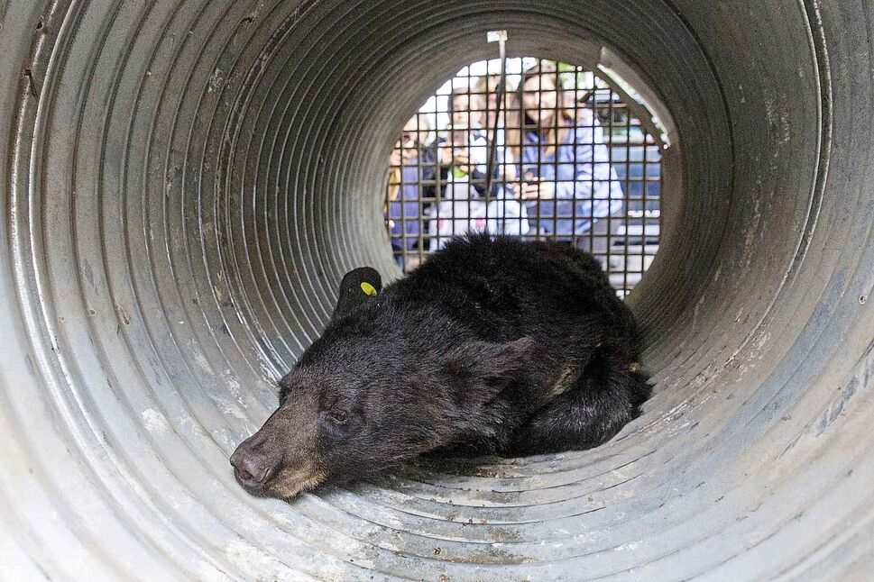 MIKE DEAL / WINNIPEG FREE PRESS</p><p>June 5 — A two year old bear lies in a cage for transportation by conservation officers. It was tranquillized after it was chased up a tree in the yard of a house in the 700 block of Kildare Avenue West in Transcona Tuesday.</p>