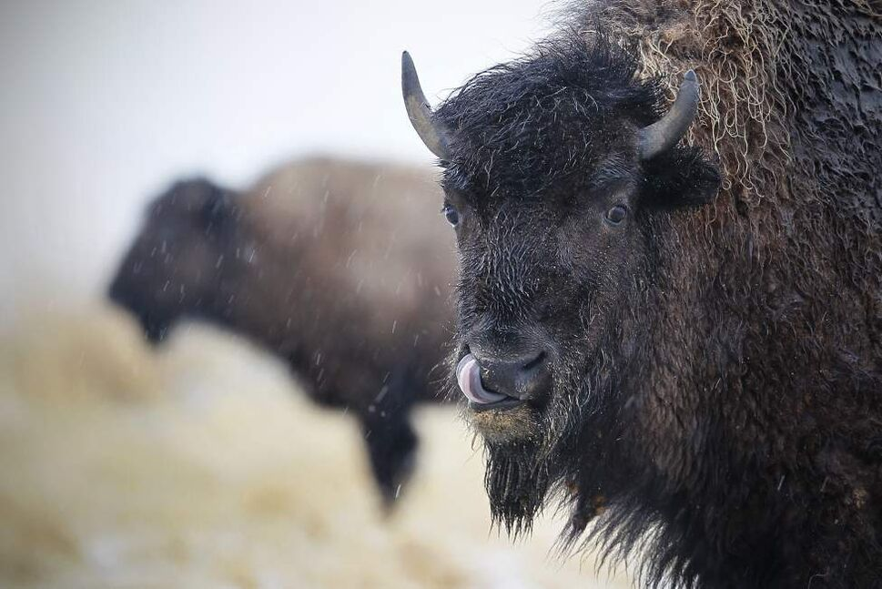 A couple bison on highway 67 brave the cool weather and snow Tuesday March 27, 2012.    (John Woods / Winnipeg Free Press)