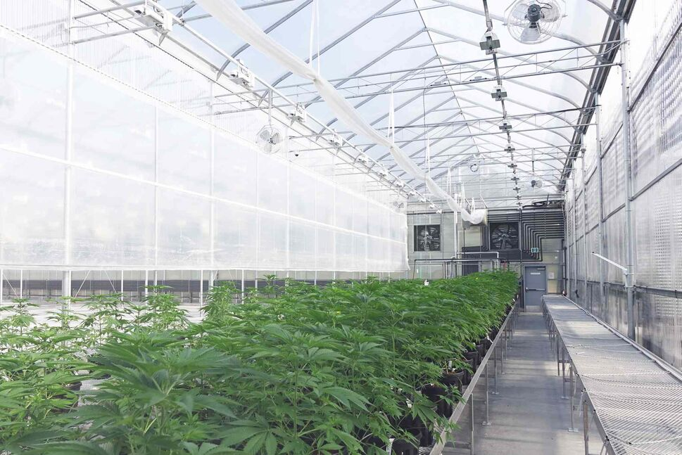Tantalus Labs grows cannabis in a greenhouse in Maple Ridge, B.C. (The Canadian Press/Tantalus Labs handout) (CP)