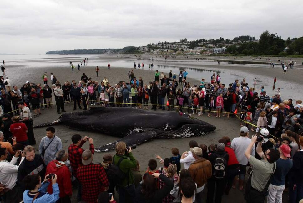 People gather around a beached humpback whale that died during low tide in White Rock, B.C., on Tuesday June 12, 2012.  (Darryl Dyck / THE CANADIAN PRESS)