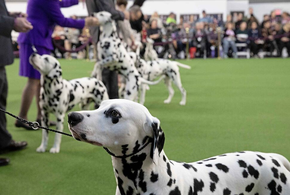 Dalmatians compete at the 144th Westminster Kennel Club dog show on Monday. (Mark Lennihan / The Associated Press)